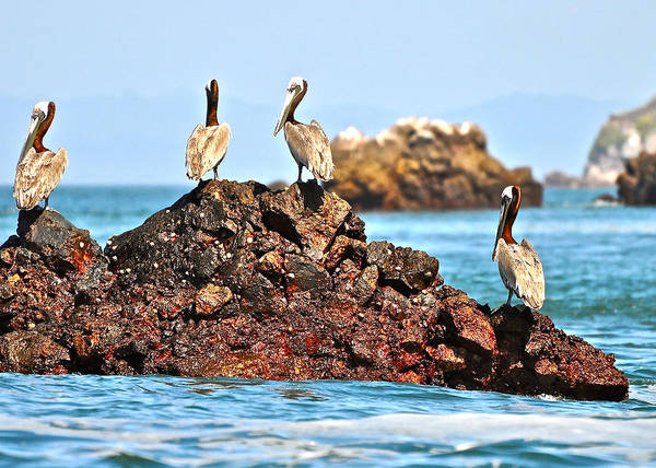 Photograph - Brown Pelicans In The Gulf Of Panama by Don Mercer