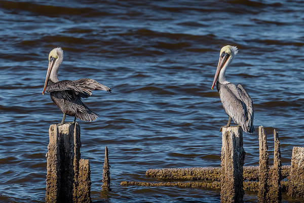 Sonny Bono Wall Art - Photograph - Brown Pelicans Perched by Morris Finkelstein