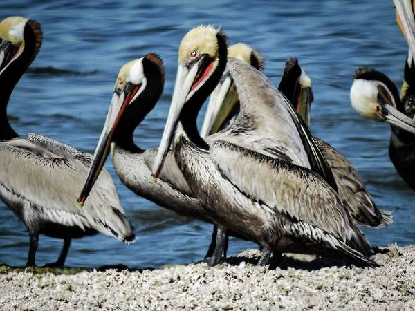 Photograph - Brown Pelicans Preening by Gaelyn Olmsted