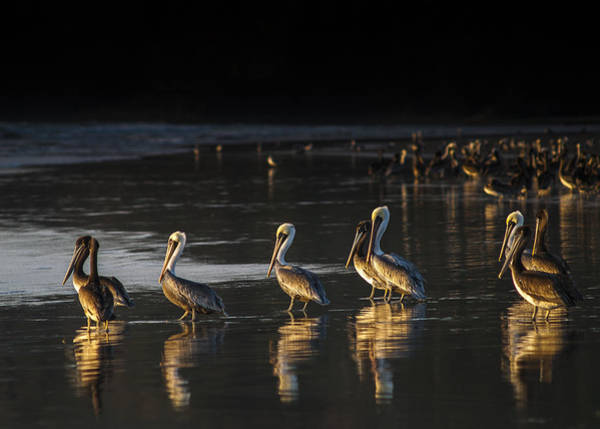 Photograph - Brown Pelicans Reflect by Robert Potts