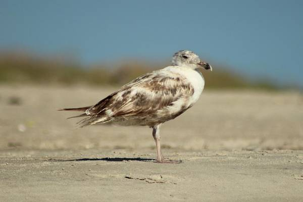 Photograph - Brown Seagull On The Beach by Cynthia Guinn
