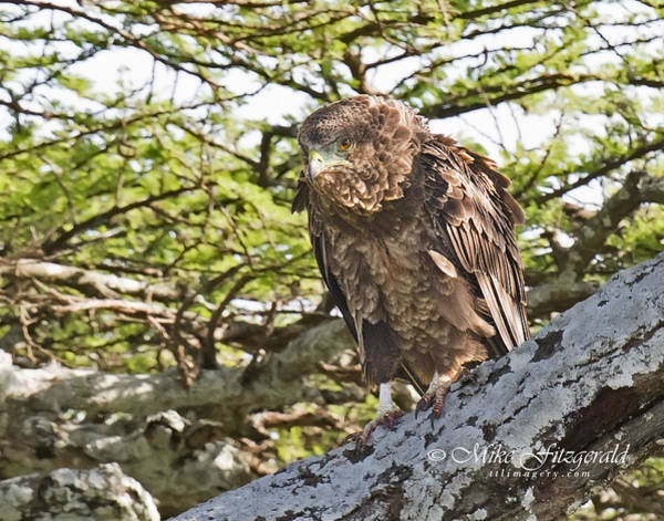 Photograph - Brown Snake-eagle by Mike Fitzgerald