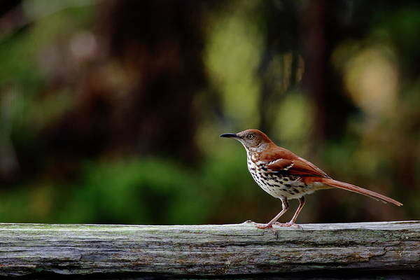 Photograph - Brown Thrasher Facing East by Daniel Reed