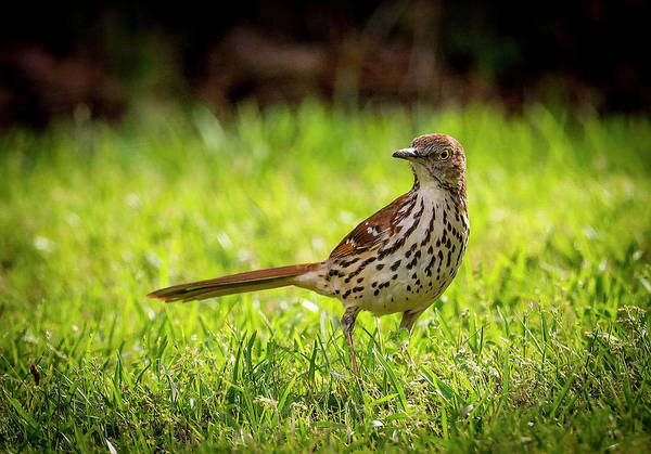 Photograph - Brown Thrasher by Philip Rispin