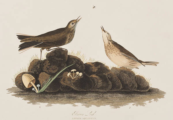 Tits Painting - Brown Titlark by John James Audubon