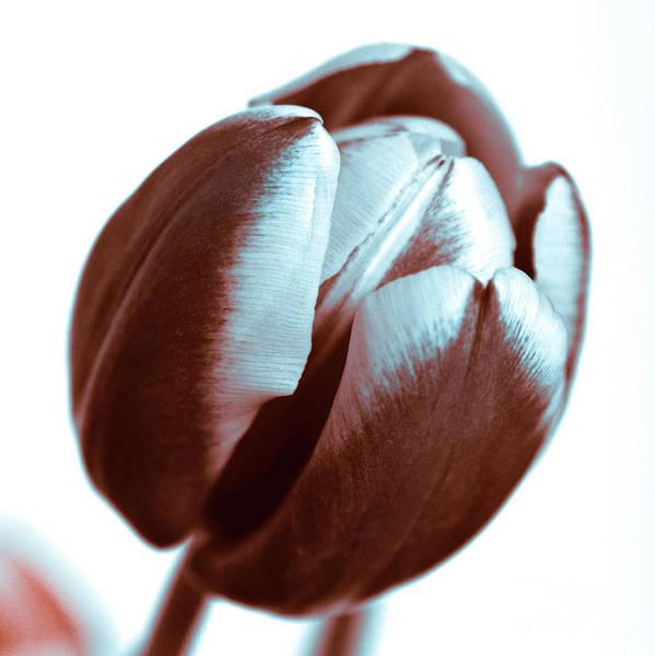 Photograph - Brown Tulip by Silva Wischeropp
