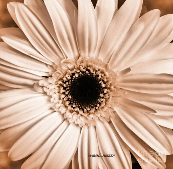 Wall Art - Photograph - Browntoned Gerbera Daisy by Marsha Heiken