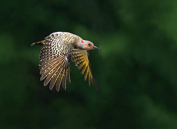 Northern Flicker Photograph - Brunch Hunt by Art Cole