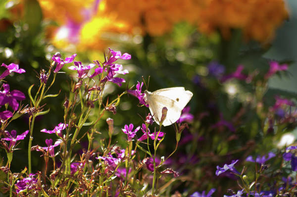 Photograph - Cabbage Butterfly by Marilyn Wilson