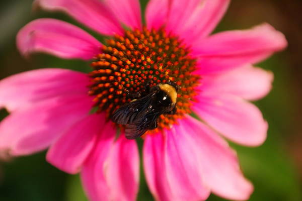 Little Things Photograph - Bumble On A Pistil by Jeff Swan
