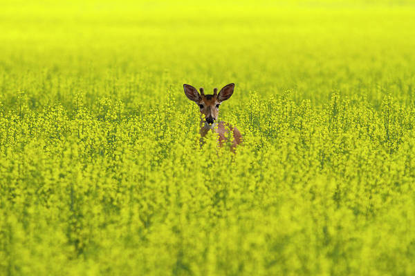 Canola Wall Art - Photograph - Buck In Canola by Mark Kiver