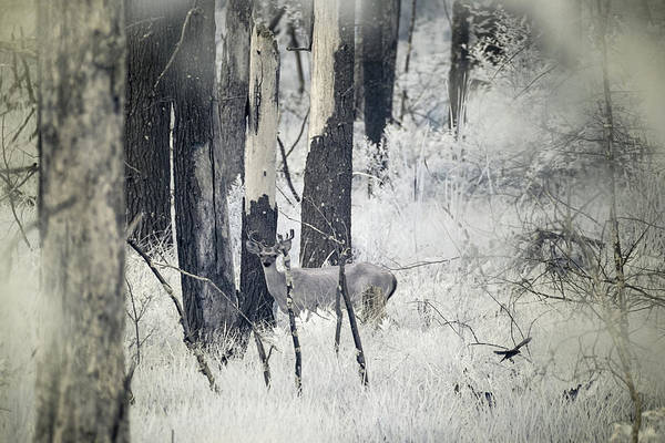 Photograph - Buck In Infrared by Brian Hale