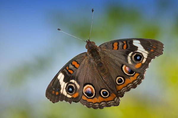 Buckeye Butterfly Wall Art - Photograph - Buckeye Butterfly by Bonnie Barry