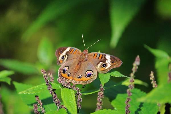 Photograph - Buckeye Butterfly by Cynthia Guinn