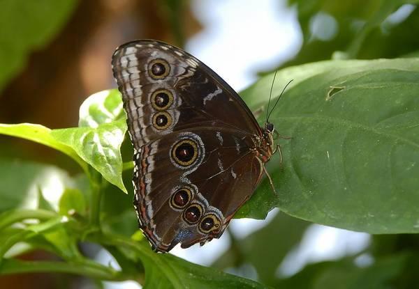 Buckeye Butterfly Wall Art - Photograph - Buckeye Butterfly by David Lee Thompson