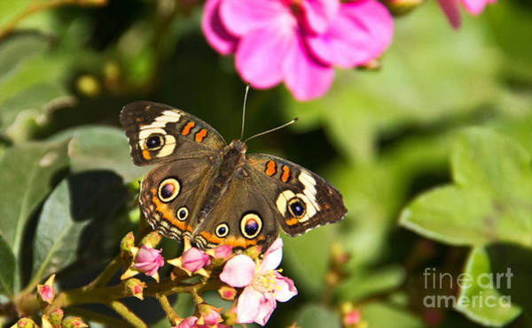 Photograph - Buckeye Butterfly by Kelly Holm
