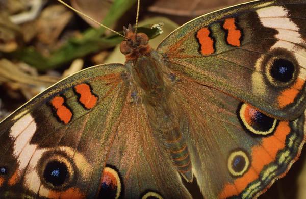Photograph - Buckeye Butterfly by Larah McElroy