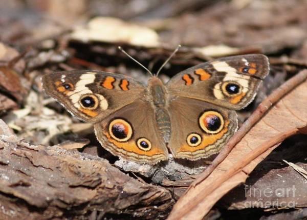 Photograph - Buckeye Butterfly On Bark by Carol Groenen