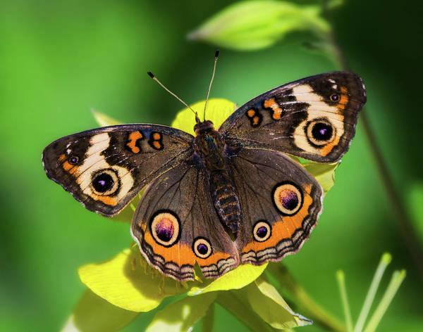 Buckeye Butterfly Wall Art - Photograph - Buckeye Butterfly On Yellow Flower  by Saija Lehtonen