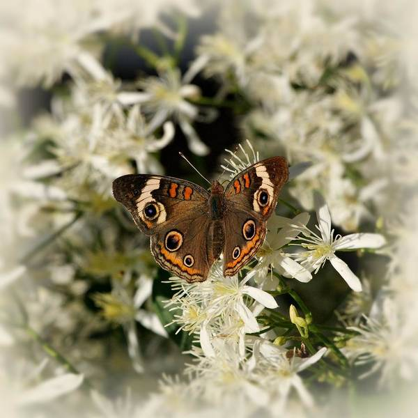 Photograph - Buckeye On Wildflowers by Sandy Keeton