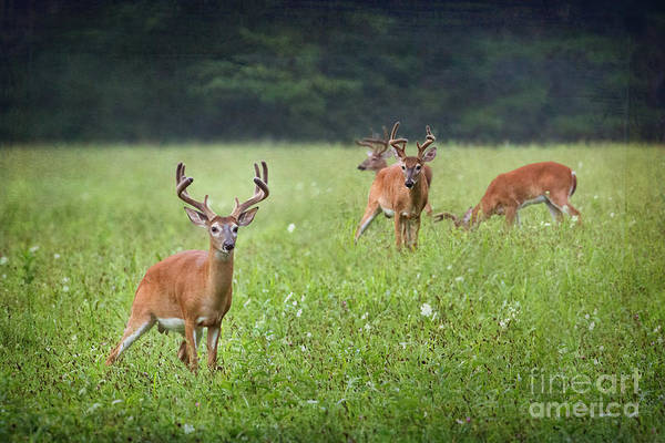 Photograph - Bucks In Cades Cove Textured by Jemmy Archer