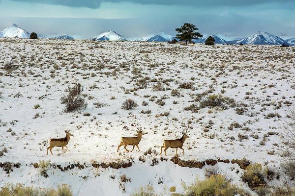Westcliffe Photograph - Bucks On The Move by John Bartelt