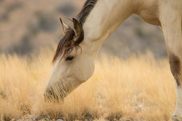 Buckskin Beauty Art Print