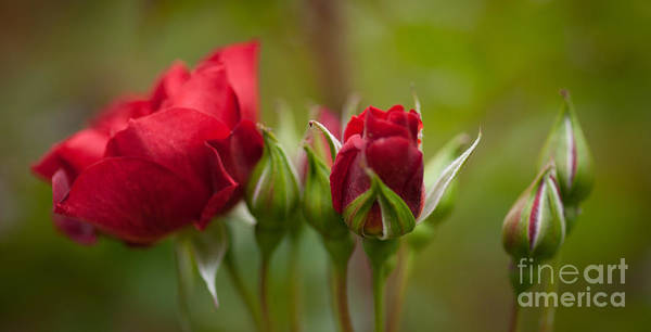 Rose Wall Art - Photograph - Bud Bloom Blossom by Mike Reid