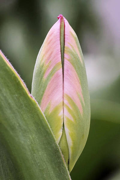 Photograph - Budding Beauty by Rona Black