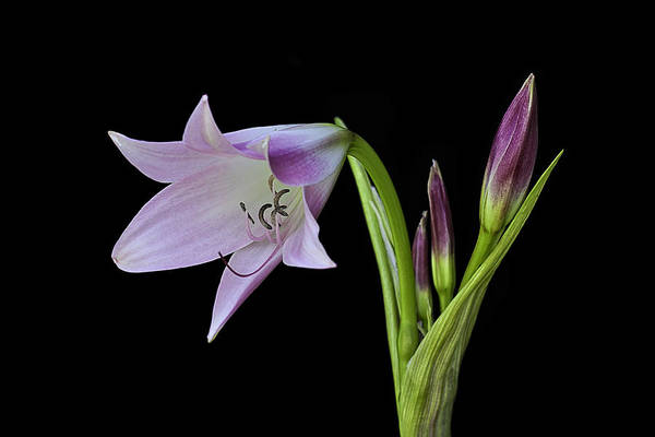 Photograph - Budding Lily by Ken Barrett