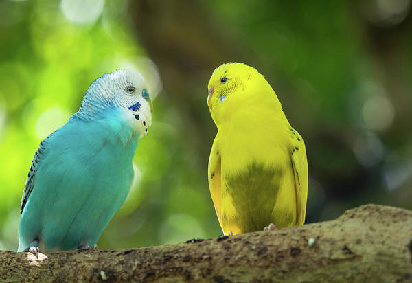 Photograph - Budgie Buddies by Robin Zygelman