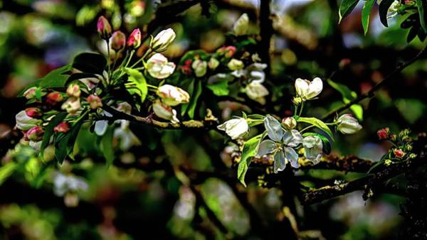 Photograph - Buds And Blossoms by Jerry Sodorff