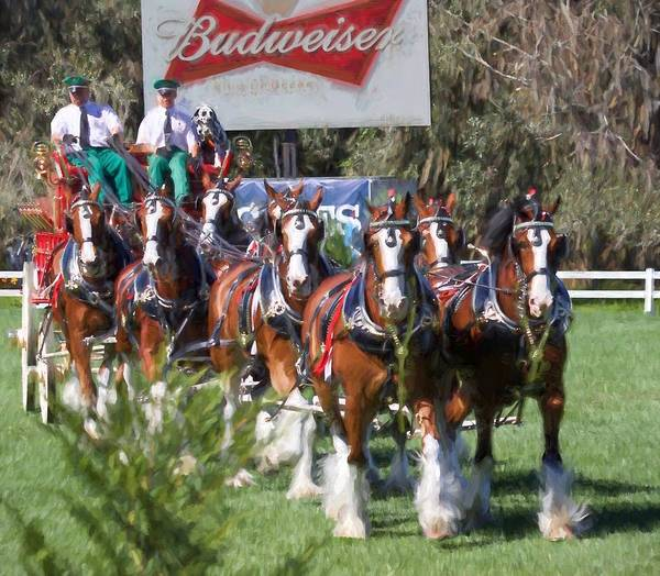 Wall Art - Photograph - Budweiser Clydesdales Perfection by Alice Gipson