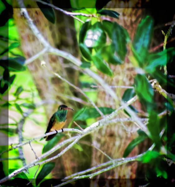 Otp Photograph - Buff- Bellied Hummingbird by Marshall Barth