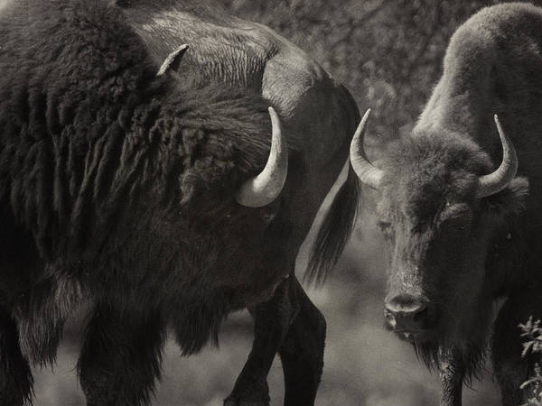 Photograph - Buff Bull Looking Back by Charles McKelroy