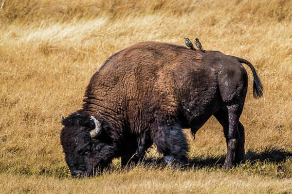 One Of A Kind Photograph - Buffalo And Birds by Paul Freidlund