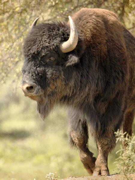 Photograph - Buffalo Bull by Charles McKelroy