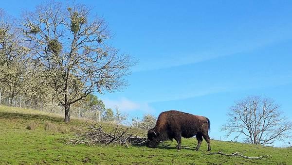 Photograph - Buffalo Bull by Suzy Piatt