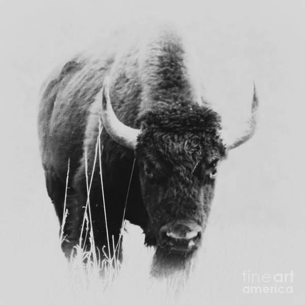 Photograph - Buffalo Gal by Barbara Henry