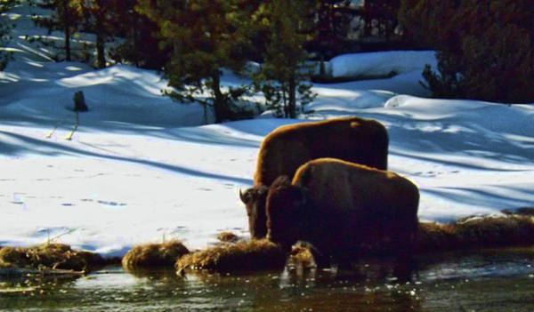 Photograph - Buffalo Graze Along River by C Sitton