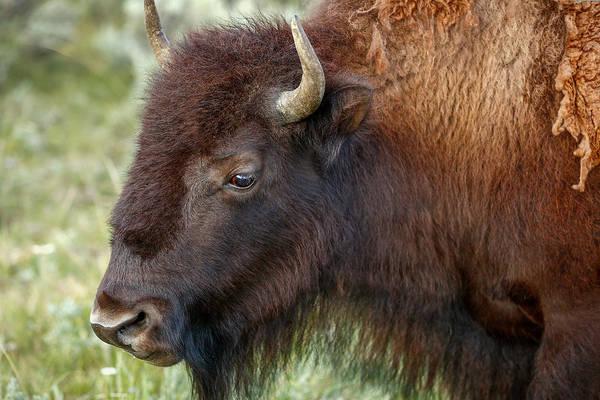 Photograph - Buffalo Head by Todd Klassy