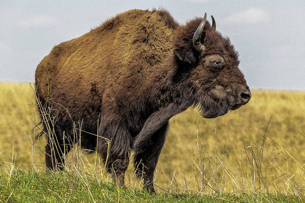 Photograph - Buffalo by Pete Hendley