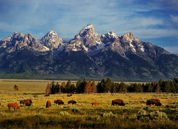 Photograph - Buffalo Under Tetons 2 by Leland D Howard
