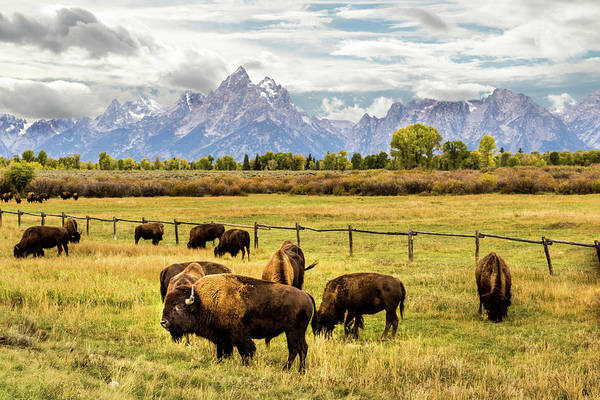 Photograph - Buffalo Under The Tetons by TL  Mair