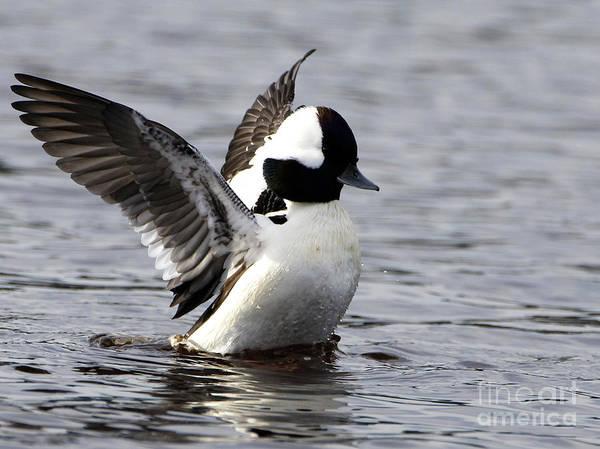 Photograph - Bufflehead Duck by Sue Harper