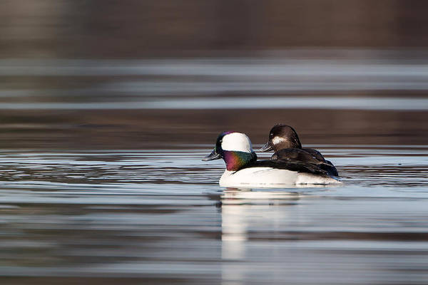 Photograph - Bufflehead Mates by Bill Wakeley