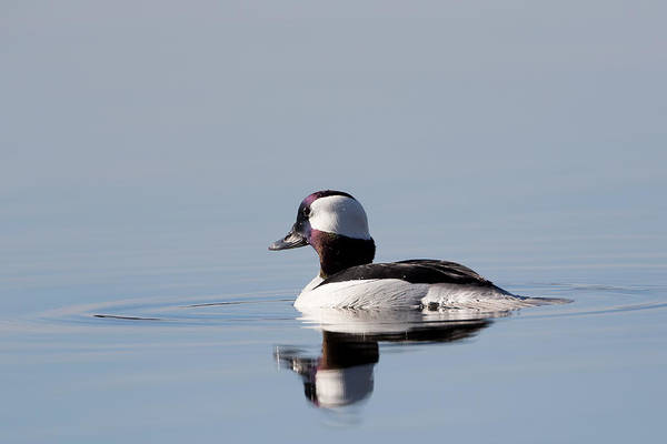 Photograph - Bufflehead Portrait by Bill Wakeley