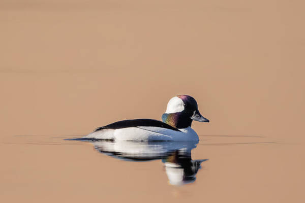 Photograph - Bufflehead In Morning Light by Bill Wakeley