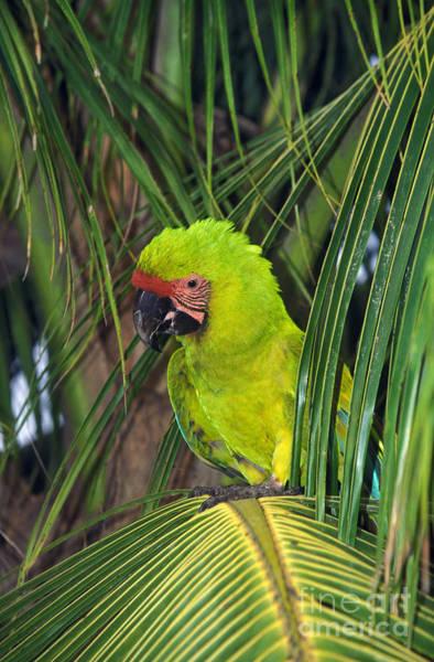 Wall Art - Photograph - Buffons Macaw Ara Ambigua by Gerard Lacz