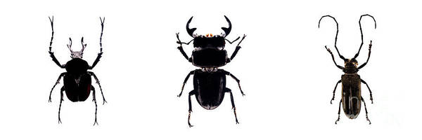 Photograph - Bug Series Beetles Topside Triptych by Clayton Bastiani